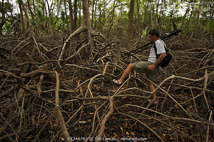 Field assistant Zafer Kizilkaya struggles to walk through the maze of Mangrove roots, Red mangrove {Rhizophora mangle} is the dominant tree, but other species are also present, Tunicate Cove, Belize. Model released, CARIBBEAN,CENTRAL AMERICA,COASTS,DICOTYLEDONS,HABITAT,INVERTEBRATES,MANGROVE,MANGROVES,MANGROVE SWAMPS,MARINE,PEOPLE,PLANTS,RHIZOPHORACEAE,TROPICAL,West Indies, Tim Laman
