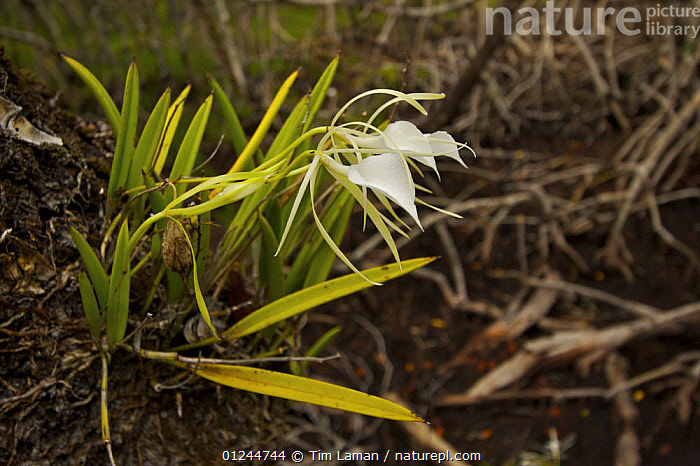 A wild orchid {Orchidaeceae} growing as an epiphyte on Mangrove tree, Peter Douglas Cay, Belize., CARIBBEAN,CENTRAL AMERICA,COASTS,FLOWERS,MANGROVE,MANGROVES,MANGROVE SWAMPS,MARINE,MONOCOTYLEDONS,ORCHIDACEAE,ORCHIDS,PLANTS,TROPICAL,West Indies, Tim Laman