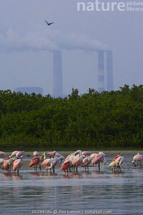 A flock of adult and juvenile Roseate Spoonbill (Platalea ajaja) rest, preen and feed on the shore of a mangrove island with chimneys of a large electric power plant in the background, Alafia Bank Bird Sanctuary, Sunken Island, Tampa Bay, Florida, USA. May 2005, BIRDS, COASTS, ENERGY, FLOCKS, GROUPS, LANDSCAPES, MANGROVE, PINK, POLLUTION, RESERVE, SPOONBILLS, USA, VERTEBRATES, VERTICAL, wading,North America, Tim Laman