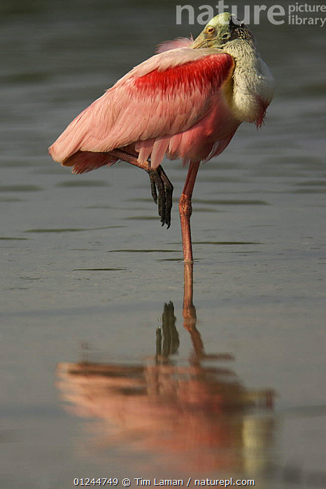 Adult roseate spoonbill (Platalea ajaja) resting on one leg with head tucked under wing, Alafia Bank Bird Sanctuary, Sunken Island, Tampa Bay, Florida, USA., balancing, BEHAVIOUR, BIRDS, COASTS, RESERVE, resting, SLEEPING, SPOONBILLS, USA, VERTEBRATES, VERTICAL, WATER,North America, Tim Laman