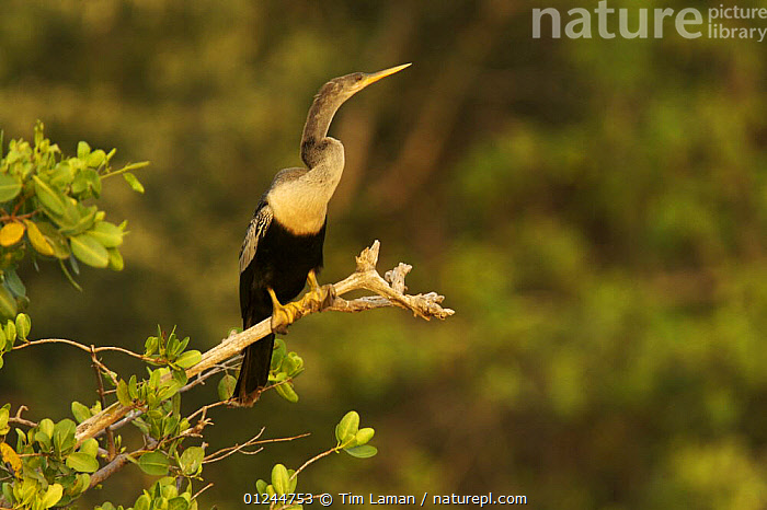 American darter / Anhinga (Anhinga anhinga) perched in rookery on mangrove island, Southwest Florida Water Management District, near Tampa Bay, Florida, USA., BIRDS,DARTERS,MANGROVES,MANGROVE SWAMPS,RESERVE,SEABIRDS,USA,VERTEBRATES,VERTICAL,North America, Tim Laman