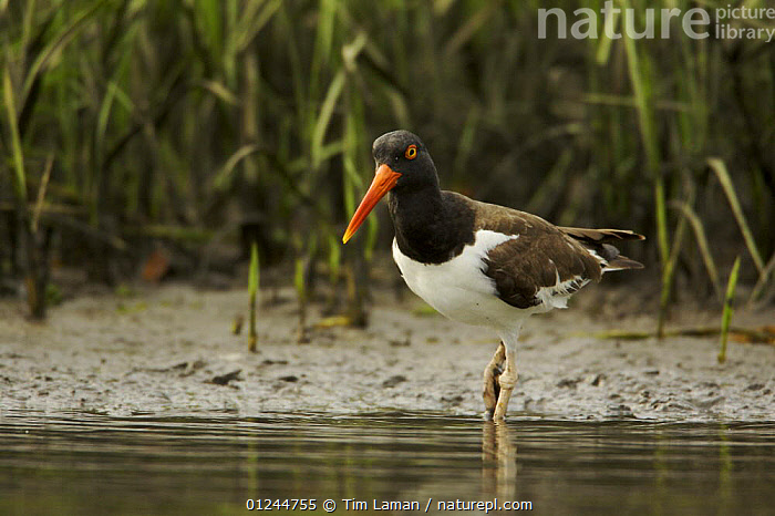 American oystercatcher (Haematopus palliatus) foraging along the mudflats of a mangrove island,  Alafia Banks Bird Sanctuary, Sunken Island, Tampa Bay, Florida, USA., BIRDS, COASTS, MANGROVES, mangrove-swamps, OYSTERCATCHERS, RESERVE, USA, VERTEBRATES, WADERS, WATER,North America, Tim Laman