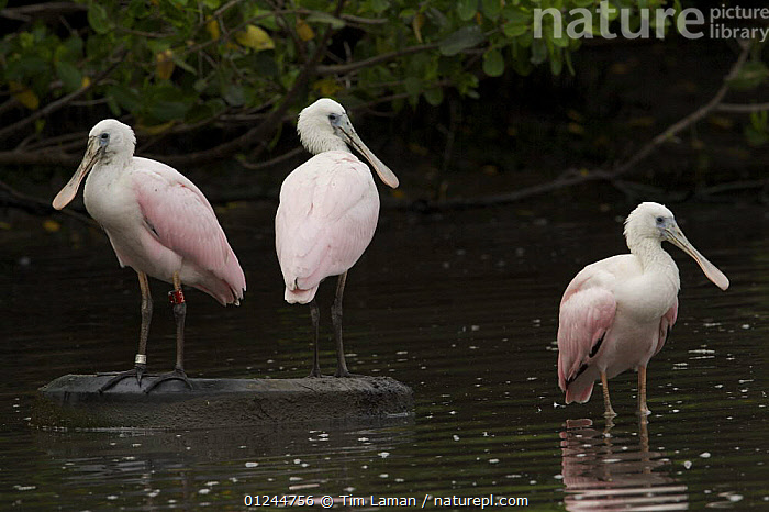 Juvenile roseate spoonbills (Platalea ajaja) perched on old tyre in water, Alafia Banks Bird Sanctuary, Sunken Island, Tampa Bay, Florida, USA., BIRDS, COASTS, POLLUTION, RESERVE, SPOONBILLS, THREE, USA, VERTEBRATES, WATER,North America, Tim Laman