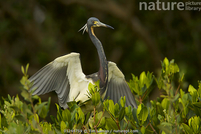 Tricolored Heron (Egretta tricolor) perched in mangrove tree, Alafia Banks Bird Sanctuary, Tampa Bay, Florida, USA., BIRDS,HERONS,MANGROVES,MANGROVE SWAMPS,RESERVE,USA,VERTEBRATES,North America, Tim Laman