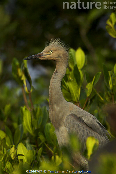 Reddish egret (Egretta rufescens) chick in mangrove nest site, Alafia Bank Bird Sanctuary, Sunken Island, Tampa Bay, Florida, USA., BIRDS,CHICKS,COASTS,HERONS,MANGROVES,MANGROVE SWAMPS,PORTRAITS,PROFLE,RESERVE,USA,VERTEBRATES,VERTICAL,North America, Tim Laman