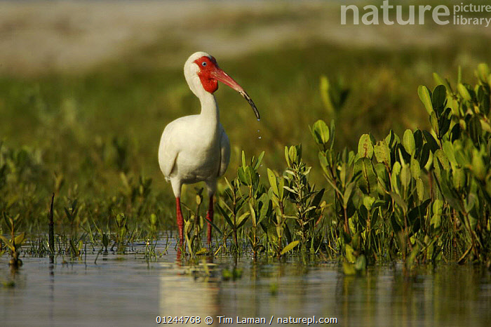 White Ibis (Endocimus albus) foraging in the shallows of a mangrove island among mangrove seedlings, Alafia Bank Bird Sanctuary, Sunken Island, Tampa Bay, Florida, USA., BIRDS,COASTS,IBISES,MANGROVES,MANGROVE SWAMPS,RESERVE,USA,VERTEBRATES,VERTICAL,North America, Tim Laman