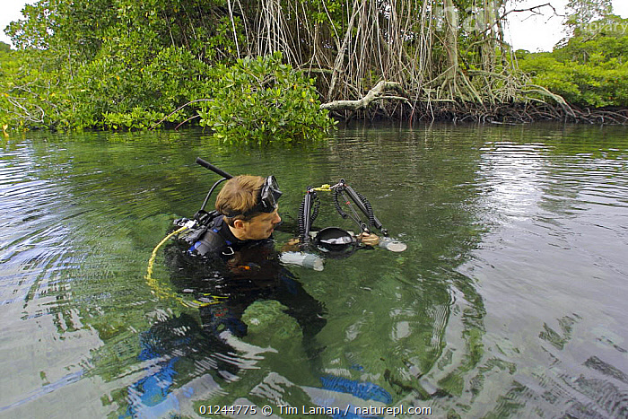 Photographer Tim Laman prepares to dive in mangrove forest, Kostrae Island, Federated States of Micronesia. Model released, June 2005, COASTS,DIVING,LANDSCAPES,MANGROVES,MANGROVE SWAMPS,MICRONESIA,OCEANIA,PACIFIC ISLANDS,PEOPLE,PHOTOGRAPHER,SCUBA, Tim Laman