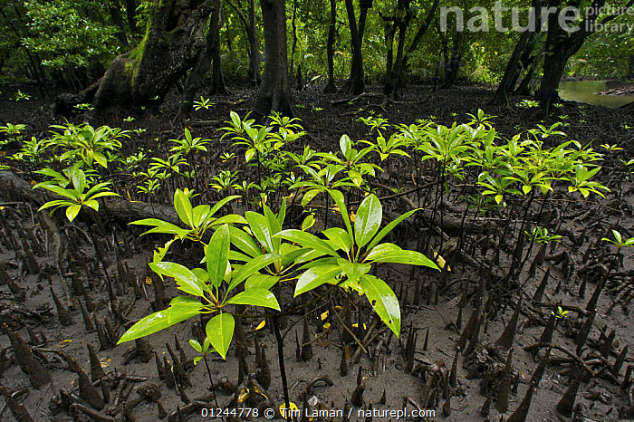 Seedlings of Red Mangrove {Rhizophora mangle} growing in a opening in the mangrove forest among the roots of other mangrove trees exposed at low tide. Kostrae Island, Federated States of Micronesia., COASTS,DICOTYLEDONS,GROWTH,HABITAT,MANGROVES,MANGROVE SWAMPS,MICRONESIA,OCEANIA,PACIFIC ISLANDS,PLANTS,RHIZOPHORACEAE,ROOTS,Concepts, Tim Laman