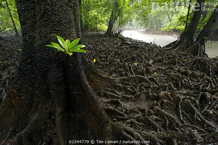 A single seedling of Red Mangrove {Rhizophora mangle} with bright green leaves grows next to the trunk and matted roots of a Bruguiera mangrove tree {Bruguiera gymnorrhiza} at low tide along a mangrove lined river. Kostrae Island, Federated States of Micronesia. June 2005, GROWTH,LANDSCAPES,LEAVES,MANGROVES,MANGROVE SWAMPS,MICRONESIA,OCEANIA,PACIFIC ISLANDS,PLANTS,RIVERS,ROOTS,Concepts, Tim Laman