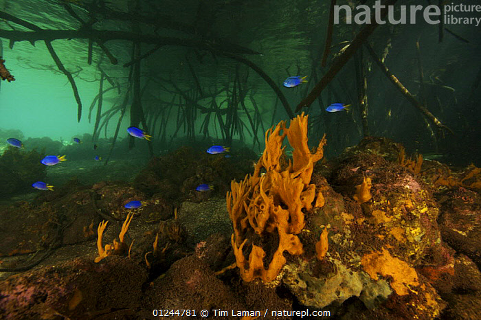 Orange sponges grow under the overhanging roots of Red Mangrove trees {Rhizophora mangle} Kostrae Island, Federated States of Micronesia., INVERTEBRATES,LANDSCAPES,MANGROVE,MARINE,MICRONESIA,OCEANIA,PACIFIC ISLANDS,PORIFERA,ROOTS,SPONGES,TROPICAL,UNDERWATER,Catalogue1, Tim Laman
