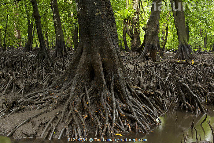 Low tide reveals roots of (Bruguiera gymnorrhiza) mangroves. Kostrae Island, Federated States of Micronesia., COASTS,HABITAT,LANDSCAPES,MANGROVE,MANGROVES,MANGROVE SWAMPS,MICRONESIA,OCEANIA,PACIFIC ISLANDS,ROOTS,TREES,PLANTS, Tim Laman