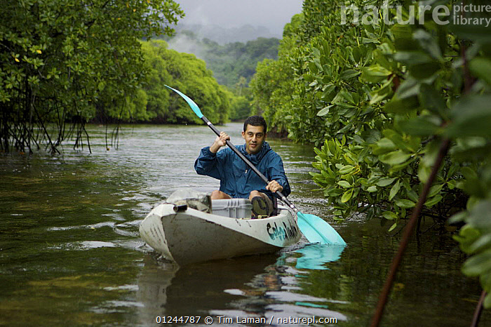 Field Assistant Zafer Kizilkaya paddling a kayak through a mangrove channel. The forested slopes of Kosrae Island are in the background. Kostrae Island, Federated States of Micronesia. June 2005. model released, BOATS,CANOES,COASTS,HABITAT,KAYAKING,KAYAKS,LANDSCAPES,MANGROVE,MANGROVES,MANGROVE SWAMPS,MICRONESIA,OCEANIA,PACIFIC ISLANDS,PEOPLE,SEA KAYAK,OPEN-BOATS, BOATS,SPORTS, WATERSPORTS, BOATS, WATERSPORTS, Tim Laman