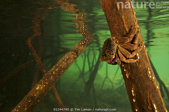 Underwater view of Mangrove crab on Red Mangrove root {Rhizophora mangle} just below the water line. Kostrae Island, Federated States of Micronesia., COASTS,CRABS,CRUSTACEANS,HABITAT,INVERTEBRATES,MANGROVE,MANGROVES,MANGROVE SWAMPS,MARINE,MICRONESIA,OCEANIA,PACIFIC ISLANDS,ROOTS,UNDERWATER, Tim Laman