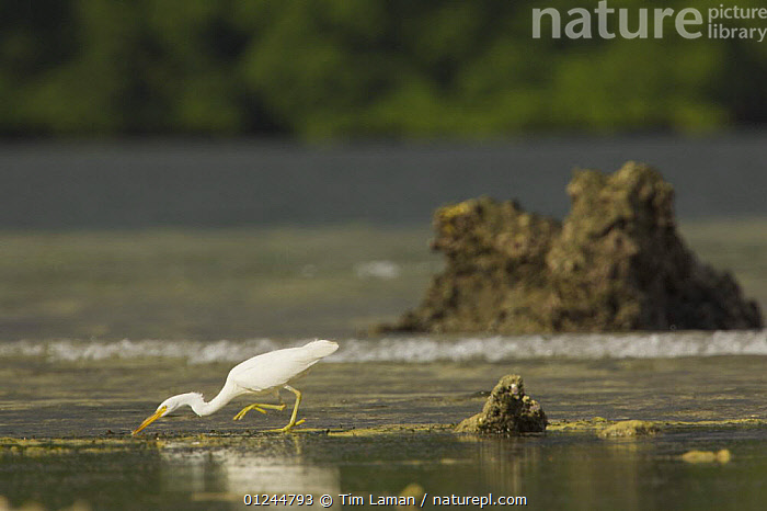 Eastern reef heron / Pacific reef egret hunts on the tidal flats outside the mangroves. Kostrae Island, Federated States of Micronesia., BIRDS,HABITAT,HERONS,MANGROVES,MANGROVE SWAMPS,MICRONESIA,OCEANIA,PACIFIC ISLANDS,VERTEBRATES, Tim Laman