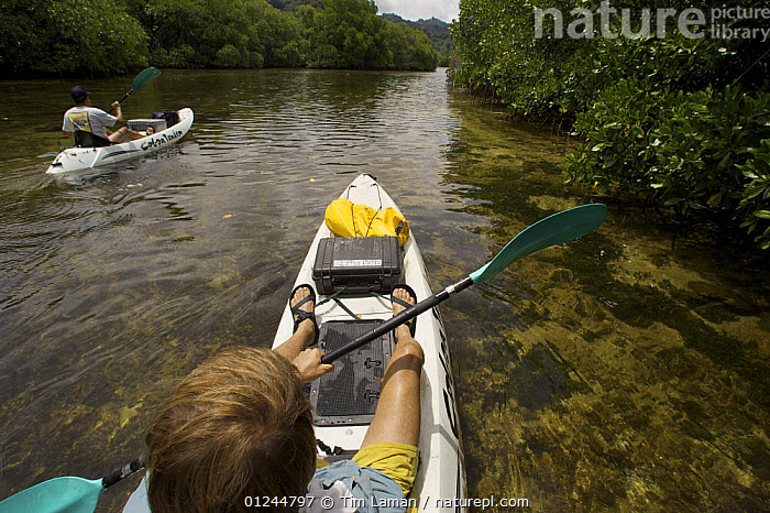Photographer Tim Laman (foreground) and field assistant Zafer Kizilkaya explore and photograph the mangroves by kayak. Kostrae Island, Federated States of Micronesia. July 2005, model released, ABOARD,BOASTS,CANOES,COASTS,HABITAT,HIGH ANGLE SHOT,KAYAKING,KAYAKS,LANDSCAPES,MANGROVE,MANGROVES,MANGROVE SWAMPS,MICRONESIA,OCEANIA,PACIFIC ISLANDS,PEOPLE,SEA KAYAK,OPEN-BOATS, BOATS,SPORTS, WATERSPORTS, BOATS, WATERSPORTS, BOATS, WATERSPORTS, Tim Laman