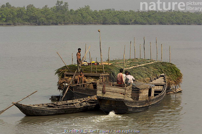 A boat carrying Nipa palm leaves harvested from the mangroves and used for roof thatch is pushed up the Sibsa river by a small launch, Sundarbans, Khulna Province, Bangladesh, March 2006, ASIA,BANGLADESH,BOATS,CARGO BOATS ,COASTS,FREIGHT BOATS,LANDSCAPES,MANGROVE SWAMPS,PEOPLE,SUNDARBAN,SUNDARBANS,SUNDERBANS,TRADITIONAL,TRANSPORT,INDIAN-SUBCONTINENT, WORKING-BOATS , WORKING-BOATS, Tim Laman