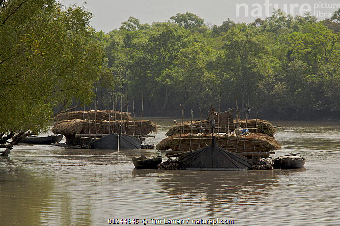 Boats carrying Nipa palm leaves harvested from the mangroves and used for roof thatch, Sibsa river, Sundarbans, Khulna Province, Bangladesh, March 2006, ASIA,BANGLADESH,BOATS,CARGO BOATS ,COASTS,FREIGHT BOATS,LANDSCAPES,MANGROVE SWAMPS,PEOPLE,SUNDARBAN,SUNDARBANS,SUNDERBANS,TRADITIONAL,TRANSPORT,TWO,WOOD,INDIAN-SUBCONTINENT, WORKING-BOATS , WORKING-BOATS, Tim Laman