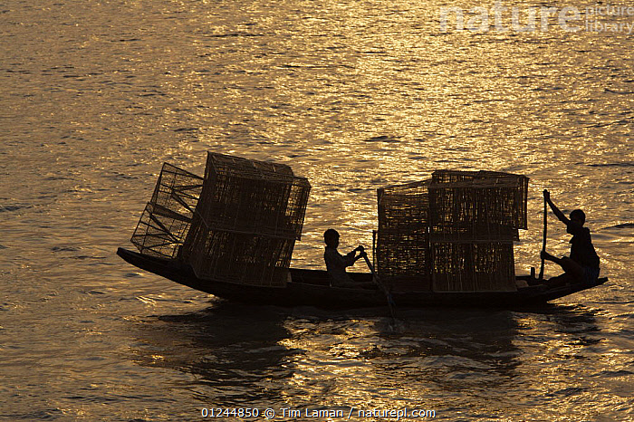 Boys transporting fishing traps by boat on the Kholpatura River, Sundarbans, Khulna Province, Bangladesh, March 2006, ASIA,BANGLADESH,BOATS,CARGO BOATS ,CHILDREN,COASTS,FREIGHT BOATS ,OPEN BOATS,PROFILE,ROWING BOATS,SILHOUETTES,SUNDARBAN,SUNDARBANS,SUNDERBANS,TRADITIONAL,TRANSPORT,INDIAN-SUBCONTINENT, WORKING-BOATS , WORKING-BOATS, Tim Laman