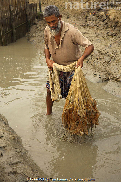 Man netting shrimp in the outflow channel from a shrimp farm pond, Sundarbans, Khulna Province, Bangladesh, March 2006, ASIA,BANGLADESH,COASTS,COMMERCIAL,CRUSTACEANS,FISHING,INVERTEBRATES,MANGROVES,MANGROVE SWAMPS,MARINE,PEOPLE,SHRIMP FARMING,SHRIMPS,SUNDARBAN,SUNDERBANS,VERTICAL,INDIAN-SUBCONTINENT, Tim Laman
