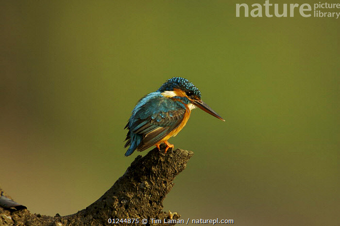 Common kingfisher {Alcedo atthis} perched on a snag at the side of a mangrove channel, Sundarbans, Khulna Province, Bangladesh, March 2006, ASIA,BANGLADESH,BIRDS,KINGFISHERS,MANGROVES,SUNDERBANS,VERTEBRATES, Tim Laman
