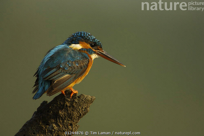 Common kingfisher {Alcedo atthis} perched on a snag at the side of a mangrove channel, Sundarbans, Khulna Province, Bangladesh, March 2006, ASIA,BANGLADESH,BIRDS,COASTS,KINGFISHERS,MANGROVES,SUNDERBANS,VERTEBRATES, Tim Laman