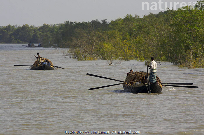 Teams of honey hunters head south into the Sundarban mangrove forest on honey collecting expeditions for a month or more. Approximately nine men live on these boats for the duration of their trips, Sundarbans, Khulna Province, Bangladesh, April 2006, ASIA,BANGLADESH,BOATS,COASTS,LANDSCAPES,MANGROVES,PEOPLE,REAR VIEWS,RIVERS,SUNDARBAN,SUNDERBANS,TRADITIONAL,TWO,INDIAN-SUBCONTINENT, Tim Laman