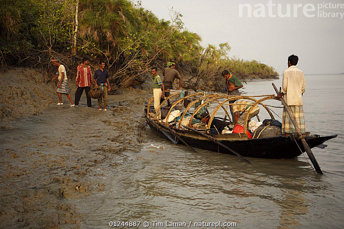 A team of honey hunters approach shore in their boat. Nine men live on this boat for a honey hunting expedition that may last a month or more, Sundarbans, Khulna Province, Bangladesh, April 2006, ASIA,BANGLADESH,BOATS,COASTS,LANDING,LANDSCAPES,MANGROVE FOREST,MANGROVES,PEOPLE,RIVERS,SUNDARBAN,SUNDARBANS,SUNDERBANS,TRADITIONAL,INDIAN-SUBCONTINENT, Tim Laman