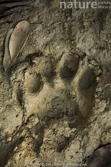 Fresh tiger tracks in the mud amongst mangroves,  Sundarbans, Khulna Province, Bangladesh, April 2006, ASIA,BANGLADESH,CARNIVORES,COASTS,ENDANGERED,FOOTPRINTS,MAMMALS,MANGROVE FOREST,MANGROVES,PANTHERA TIGRIS,PUG,SUNDARBAN,SUNDERBANS,TIGER,TIGERS,TRACKS,VERTICAL, Tim Laman