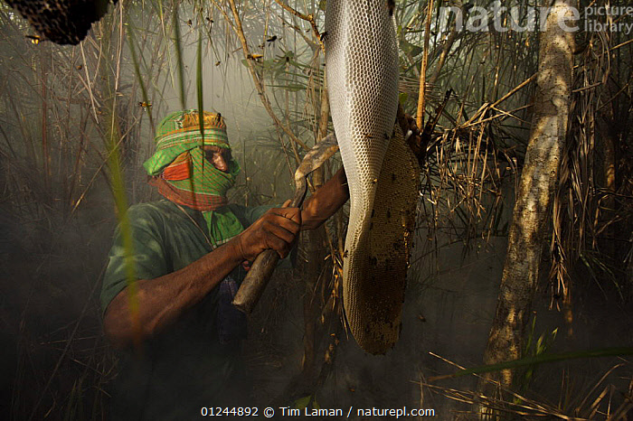 Man collecting honey from a honeycomb of the Giant Honeybee (Apis dorsata) using smoke to subdue the bees, a bush knife to cut the comb, and a basket to catch the honey and comb, Sundarbans, Khulna Province, Bangladesh, April 2006, ASIA,BANGLADESH,BEES,COASTS,HYMENOPTERA,INSECTS,MANGROVE FOREST,MANGROVES,NESTS,PEOPLE,SUNDARBAN,SUNDERBANS,TRADITIONAL,Invertebrates, Tim Laman