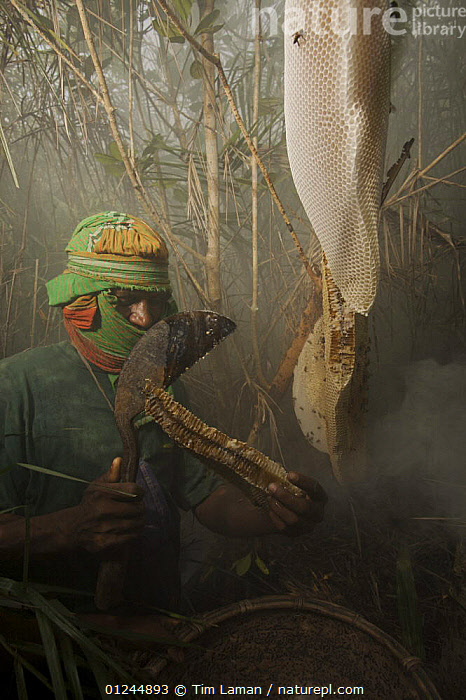 Man collecting honey from a honeycomb of the Giant Honeybee (Apis dorsata) using smoke to subdue the bees, a bush knife to cut the comb, and a basket to catch the honey and comb, Sundarbans, Khulna Province, Bangladesh, April 2006, ASIA,BANGLADESH,COASTS,HYMENOPTERA,INSECTS,INVERTEBRATES,MANGROVE FOREST,MANGROVES,NESTS,PEOPLE,SUNDARBAN,SUNDERBANS,TRADITIONAL,VERTICAL, Tim Laman