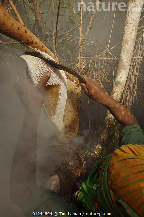 Man collecting honey from a honeycomb of the Giant Honeybee (Apis dorsata) using smoke to subdue the bees,a bush knife to cut the comb, and a basket to catch the honey and comb, Sundarbans, Khulna Province, Bangladesh, April 2006, ASIA,BANGLADESH,COASTS,HYMENOPTERA,INSECTS,INVERTEBRATES,MANGROVE FOREST,MANGROVES,NESTS,PEOPLE,SUNDARBAN,SUNDERBANS,TRADITIONAL,VERTICAL, Tim Laman