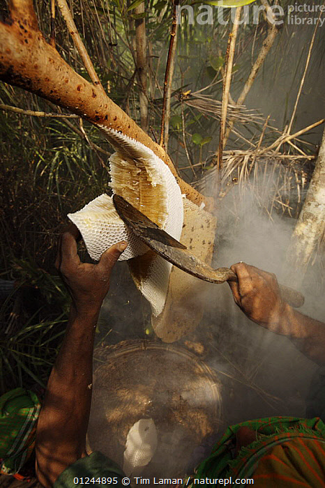 Man collecting honey from a honeycomb of the Giant Honeybee (Apis dorsata) using smoke to subdue the bees, a bush knife to cut the comb and a basket to catch the honey and comb, Sundarbans, Khulna Province, Bangladesh, April 2006, ASIA,BANGLADESH,COASTS,HYMNOPTERA,INSECTS,INVERTEBRATES,MANGROVE FOREST,MANGROVES,NESTS,PEOPLE,SUNDARBAN,SUNDERBANS,TRADITIONAL,VERTICAL, Tim Laman