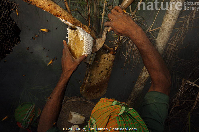 Man collecting honey from a honeycomb of the Giant Honeybee (Apis dorsata) using smoke to subdue the bees, and a bush knife to cut the comb, and a basket to catch the honey and comb, Sundarbans, Khulna Province, Bangladesh, April 2006, ASIA,BANGLADESH,COASTS,HYMENOPTERA,INSECTS,INVERTEBRATES,MANGROVE FOREST,MANGROVES,NESTS,PEOPLE,SUNDARBAN,SUNDERBANS,TRADITIONAL, Tim Laman