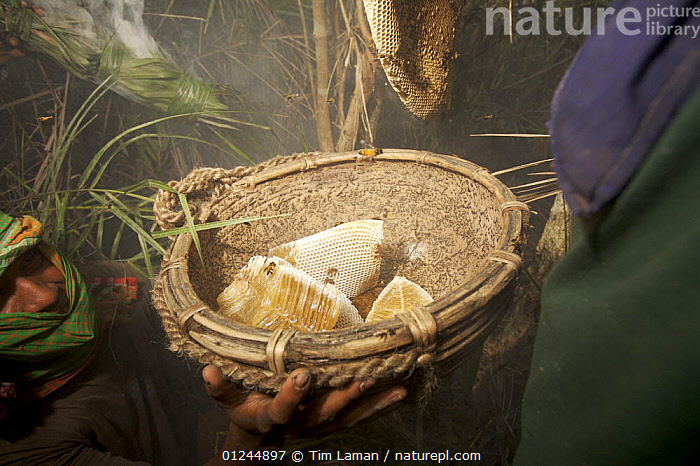 Man collecting honey from a honeycomb of the Giant Honeybee (Apis dorsata) using smoke to subdue the bees, a bush knife to cut the comb, and a basket to catch the honey and comb, Sundarbans, Khulna Province, Bangladesh, April 2006, ASIA,BANGLADESH,COASTS,HYMENOPTERA,INSECTS,INVERTEBRATES,MANGROVE FOREST,MANGROVES,NESTS,PEOPLE,SUNDARBAN,SUNDERBANS,TRADITIONAL, Tim Laman