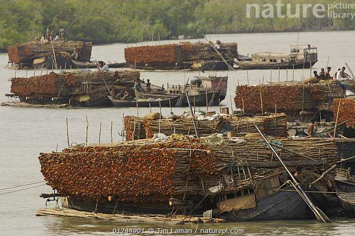 Charcoal wood collectors with boats loaded with Goran wood (Ceriops sp) harvested from the mangrove forest, Sundarbans, Khulna Province, Bangladesh, April 2006, ASIA,BANGLADESH,BOATS,CARGO BOATS ,COASTS,DEFORESTATION,FLEETS,FREIGHT BOATS,LOGS,MANGROVE FOREST,MANGROVES,PEOPLE,RIVERS,SUNDARBAN,SUNDERBANS,TIMBER,TRADITIONAL,WOODEN,INDIAN-SUBCONTINENT, WORKING-BOATS , WORKING-BOATS, Tim Laman