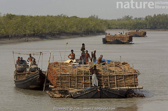 Charcoal wood collectors with boats loaded with Goran wood (Ceriops sp) harvested from the mangrove forest, Sundarbans, Khulna Province, Bangladesh, April 2006, ASIA,BANGLADESH,BOATS,CARGO BOATS ,COASTS,DEFORESTATION,FLEETS,FREIGHT BOATS,LANDSCAPES,LOGS,PEOPLE,RIVERS,SUNDARBAN,SUNDERBANS,TIMBER,TRADITIONAL,WOODEN,INDIAN-SUBCONTINENT, WORKING-BOATS , WORKING-BOATS, Tim Laman