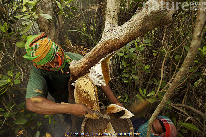 Man collecting honey from honeycomb of the Giant Honeybee (Apis dorsata) using smoke to subdue the bees, a bush knife to cut the comb and a basket to catch the honey and comb, Sundarbans, Khulna Province, Bangladesh, April 2006, ASIA,BANGLADESH,COASTS,HYMENOPTERA,INSECTS,INVERTEBRATES,MANGROVE FOREST,MANGROVES,NESTS,PEOPLE,SUNDARBAN,SUNDERBANS,TRADITIONAL, Tim Laman