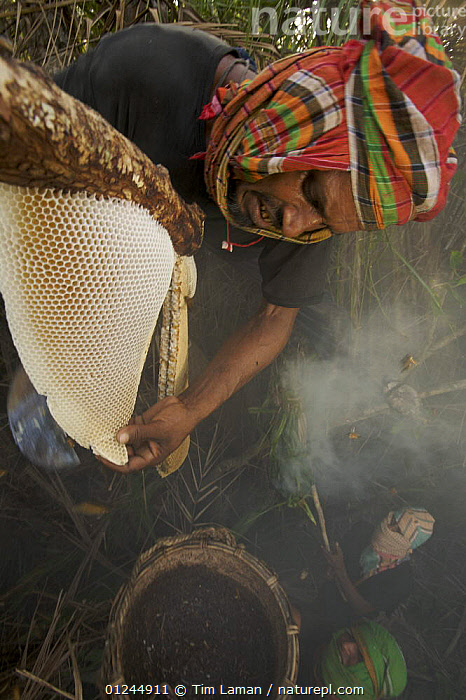 Man collecting honey from honeycomb of the Giant Honeybee (Apis dorsata) using smoke to subdue the bees, a bush knife to cut the comb and a basket to catch the honey and comb, Sundarbans, Khulna Province, Bangladesh, April 2006, ASIA,BANGLADESH,COASTS,HYMENOPTERA,INSECTS,INVERTEBRATES,MANGROVE FOREST,MANGROVES,NESTS,PEOPLE,SUNDARBAN,SUNDERBANS,TRADITIONAL,VERTICAL, Tim Laman