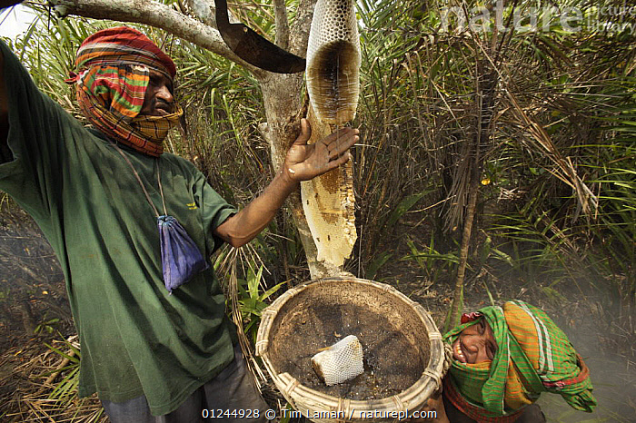 Collecting honey from a honeycomb of the Giant Honey bee (Apis dorsata) using smoke to subdue the bees, a bush knife to cut the comb and a basket to catch the honey and comb, Sundarbans, Khulna Province, Bangladesh, April 2006, ASIA,BANGLADESH,COASTS,HYMENOPTERA,INSECTS,INVERTEBRATES,MANGROVE FOREST,MANGROVES,NESTS,PEOPLE,SUNDARBAN,SUNDERBANS,TRADITIONAL, Tim Laman