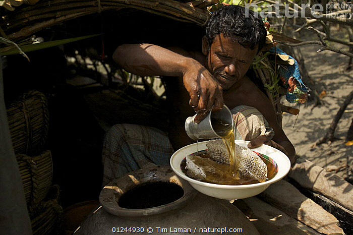 Honey collector pouring out a bowl of honey to give to the photographer, Sundarbans, Khulna Province, Bangladesh, April 2006, ASIA,BANGLADESH,COASTS,FOOD,HYMENOPTERA,INSECTS,INVERTEBRATES,MANGROVE FOREST,MANGROVES,PEOPLE,SUNDARBAN,SUNDERBANS,TRADITIONAL, Tim Laman