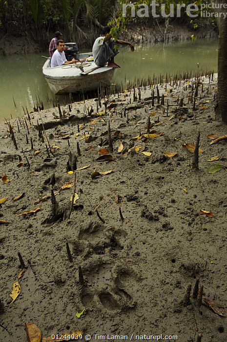 Relatively fresh Tiger tracks in the mud along a small river channel in the mangrove forest,  Sundarbans, Khulna Province, Bangladesh, April 2006, ASIA,BANGLADESH,BENGAL,BOATS,COASTS,FOOTPRINTS,MANGROVE FOREST,MANGROVES,PANTHERA TIGRIS TRIGRIS,PEOPLE,PUG MARKS,RESEARCH,SUNDARBAN,SUNDERBANS,TIGER,TRACKS,VERTICAL, Tim Laman