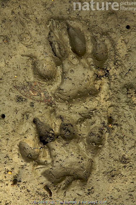 Relatively fresh Tiger tracks in the mud along a small river channel in the mangrove forest,  Sundarbans, Khulna Province, Bangladesh, April 2006, ASIA,BANGLADESH,BENGAL,CARNIVORES,COASTS,ENDANGERED,MAMMALS,MANGROVE FOREST,MANGROVES,PANTHERA TIGRIS TIGRIS,PUG MARKS,SUNDARBAN,SUNDERBANS,TIGERS,TRACKS,VERTICAL, Tim Laman