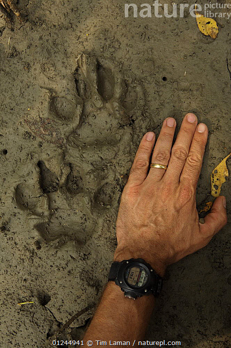 Relatively fresh Tiger tracks in the mud along a small river channel in the mangrove forest,  Sundarbans, Khulna Province, Bangladesh, April 2006, ASIA,BANGLADESH,BENGAL,CARNIVORES,COASTS,FOOTPRINTS,HANDS,MAMMALS,MANGROVE FOREST,MANGROVES,PANTHERA TIGRIS TIGRIS,PEOPLE,PUG MARKS,SIZE,SUNDARBAN,SUNDERBANS,TIGERS,TRACKS,VERTICAL, Tim Laman