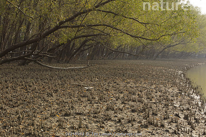 Mangrove forest dominated by Mangrove apple trees (Sonneratia sp) in the Southeast Sundarbans,  this area is heavily grazed by Axis Deer and all low foliage has been removed, Khulna Province, Bangladesh, April 2006, ASIA,BANGLADESH,COASTS,LANDSCAPES,MANGROVE FOREST,MANGROVES,ROOTS,SUNDARBAN,SUNDERBANS, Tim Laman