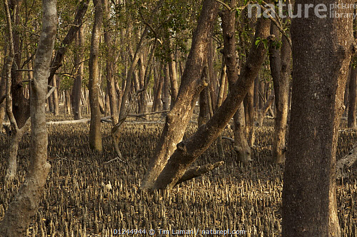 Mangrove forest dominated by Mangrove apple trees (Sonneratia sp) in the Southeast Sundarbans,  this area is heavily grazed by Axis Deer and all low foliage has been removed, Khulna Province, Bangladesh, April 2006, ASIA,BANGLADESH,COASTS,HABITAT,LANDSCAPES,MANGROVE FOREST,MANGROVES,ROOTS,SUNDARBAN,SUNDERBANS,TREES,PLANTS, Tim Laman
