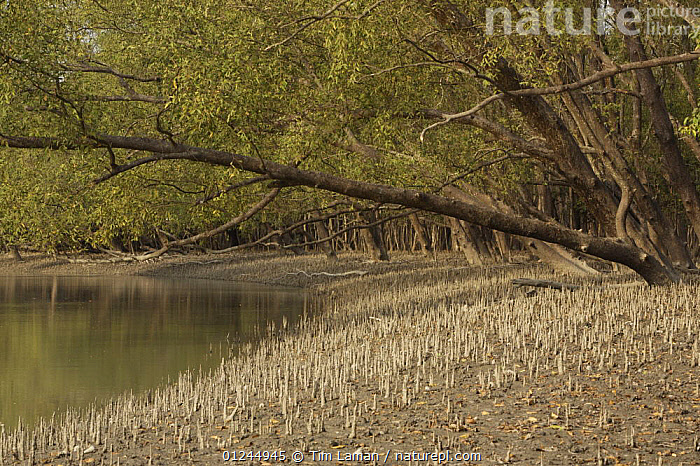 Mangrove forest dominated by Mangrove apple trees (Sonneratia sp) in the Southeast Sundarbans,  this area is heavily grazed by Axis Deer and all low foliage has been removed, Khulna Province, Bangladesh, April 2006, ASIA,BANGLADESH,COASTS,LANDSCAPES,MANGROVE FOREST,MANGROVES,ROOTS,SUNDARBAN,SUNDERBANS,TREES,PLANTS, Tim Laman