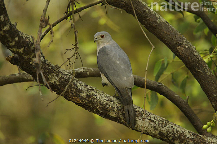 Shikra (Accipiter badius) hunting from a perch in a mangrove tree in the Sundarban Forest, Khulna Province, Bangladesh., ASIA,BANGLADESH,BIRDS,BIRDS OF PREY,COASTS,HAWKS,MANGROVE FOREST,MANGROVES,SUNDARBAN,SUNDARBANS,SUNDERBANS,VERTEBRATES, Tim Laman