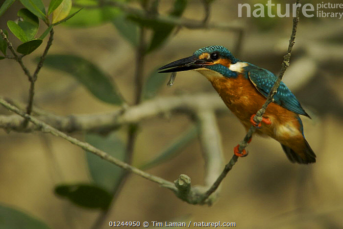 Common Kingfisher (Alcedo atthis) perched with fish prey on the edge of a mangrove river. Sundarban Forest, Khulna Province, Bangladesh., ASIA,BANGLADESH,BIRDS,COASTS,KINGFISHERS,MANGROVE FOREST,MANGROVES,SUNDARBAN,SUNDARBANS,SUNDERBANS,VERTEBRATES, Tim Laman
