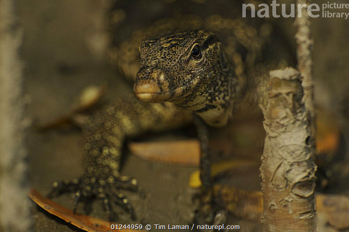 Asian / Common Water Monitor (Varanus salvator) amongst mangrove roots on a river bank, Sundarban Forest, Khulna Province, Bangladesh., ASIA,BANGLADESH,COASTS,LIZARDS,MANGROVE,MANGROVE FOREST,MANGROVES,MONITOR LIZARDS,REPTILES,SUNDARBAN,SUNDARBANS,SUNDERBANS,VERTEBRATES,,Lizards,,,Lizards,, Tim Laman