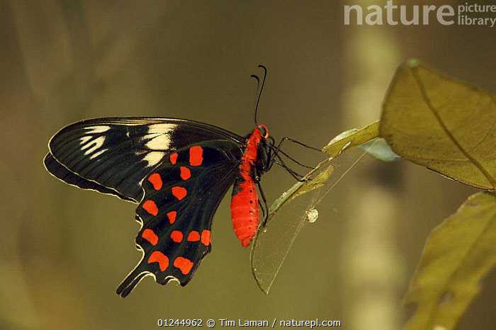 Crimson Rose Swallowtail Butterfly (Atrophaneura hector) resting on leaf of a Heritiera mangrove tree. Sundarban Forest, Khulna Province, Bangladesh., ASIA, Bangladesh, COASTS, COLOURFUL, INSECTS, INVERTEBRATES, LEPIDOPTERA, mangrove-forest, MANGROVES, PROFILE, RED, Sundarban, Sundarbans, sunderbans, SWALLOWTAIL-BUTTERFLIES, Tim Laman